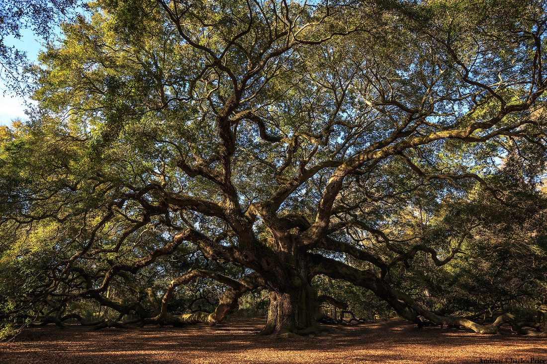 South Carolina Angel Oak Tree