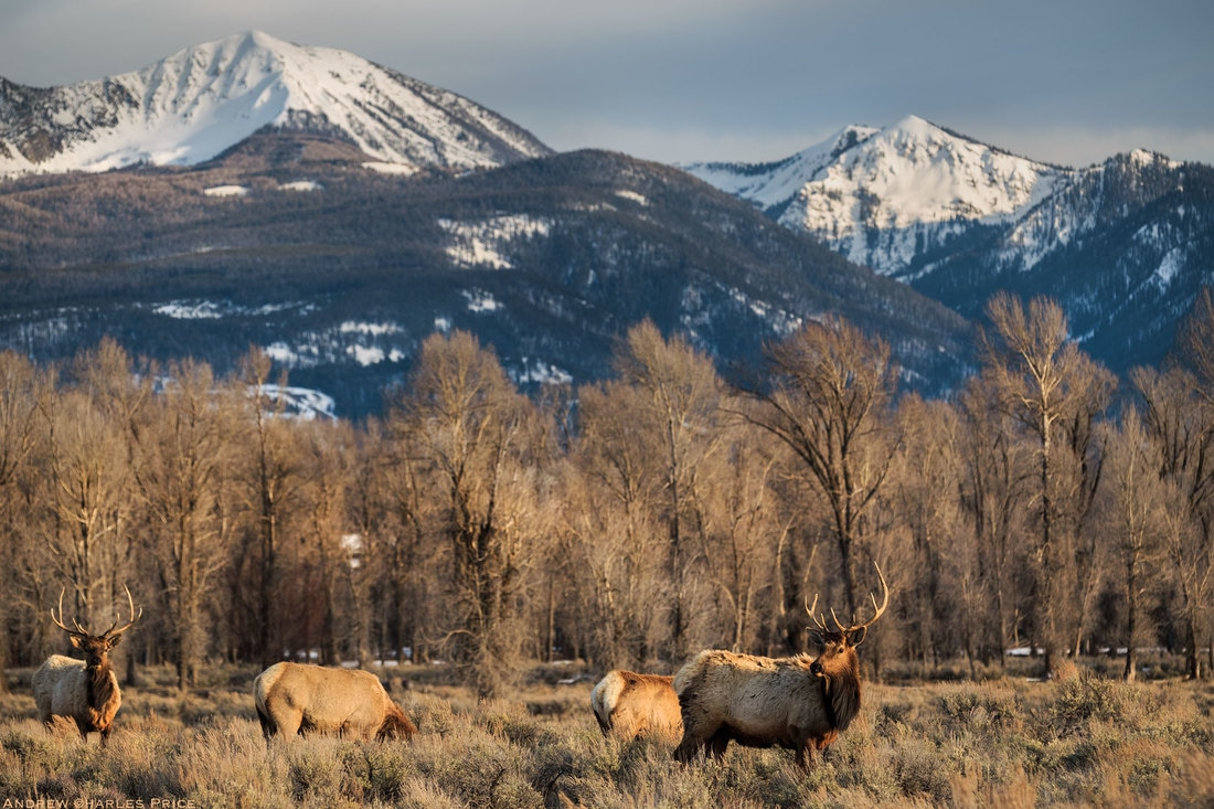 Wyoming Grand Tetons Elk