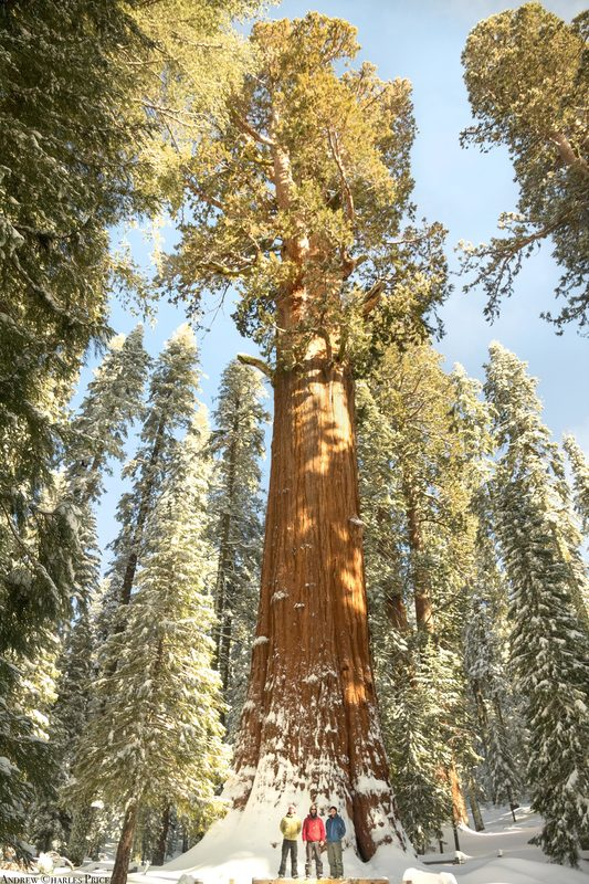 California Sequoia