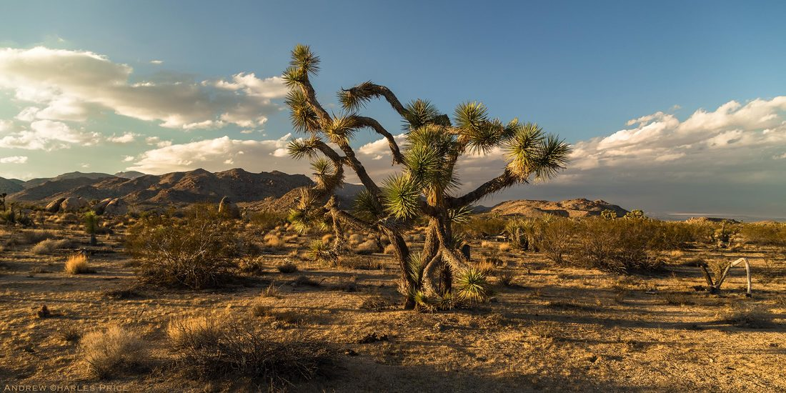 California Joshua Tree