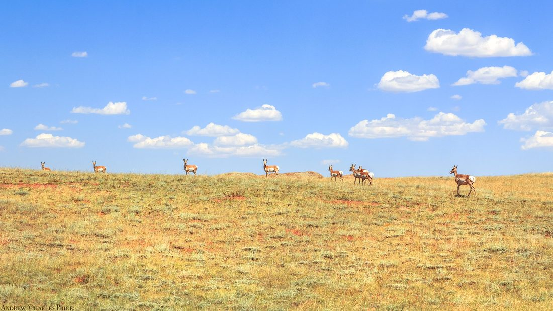 Wyoming Pronghorn Antelope
