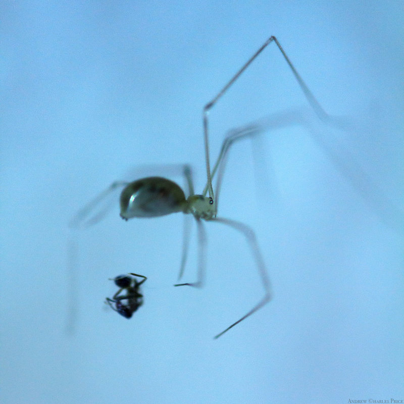 California Spider Ant